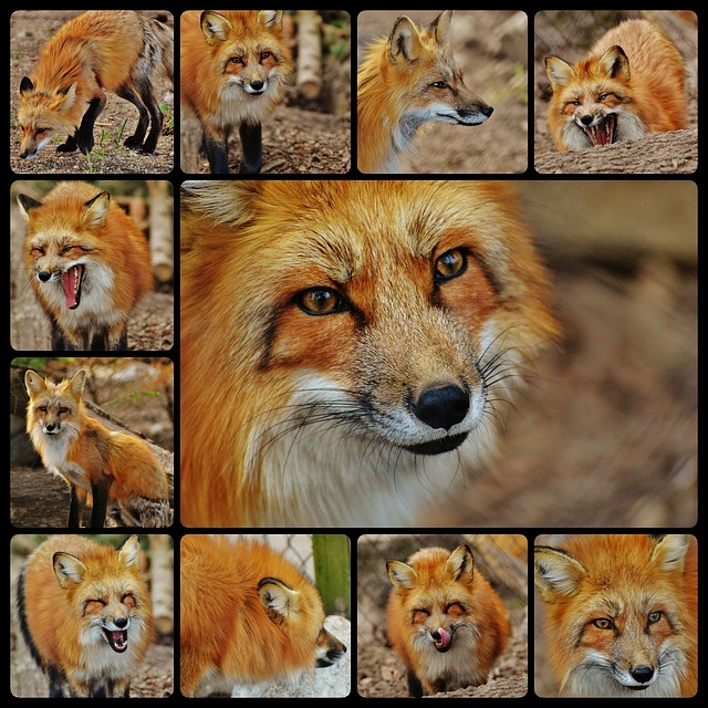 Fuchs, Collage, Predator, Beautiful, Wild Animal