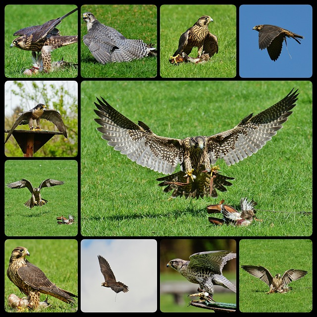 Falcon, Wildpark Poing, Approach, Prey, Collage, Access
