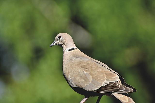 Dove, Collared, Bird, Animal