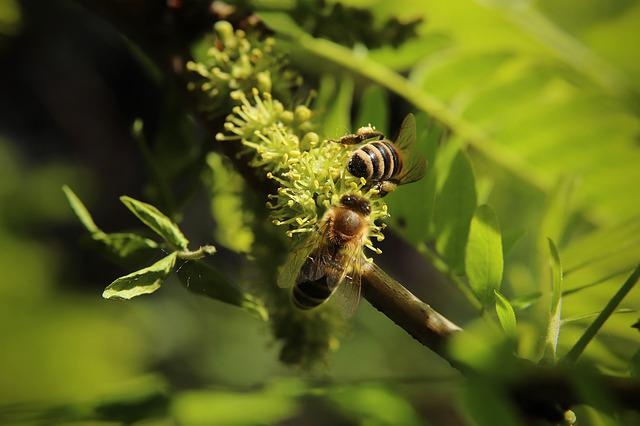 Insect, Bees, Honey Bees, Nectar, Collect, Honey Locust