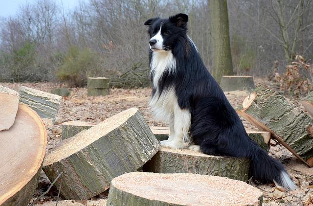 Dog, Collie, Border Collie, British Sheepdog