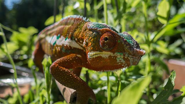 Chameleon, Color, Colorful, Panther Chameleon, Reptile