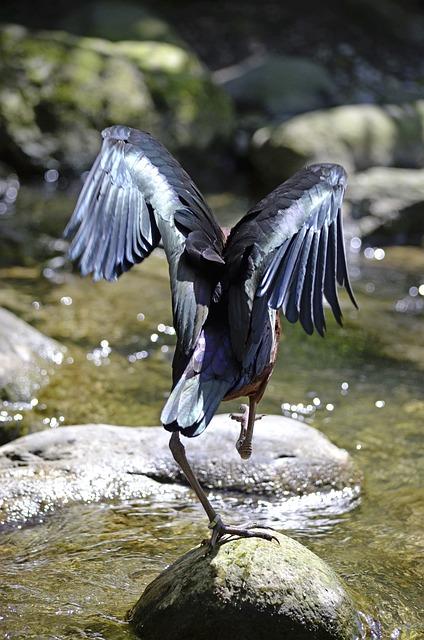 Ibis, Bird, Running Away, Exot, Water, Color, Funny