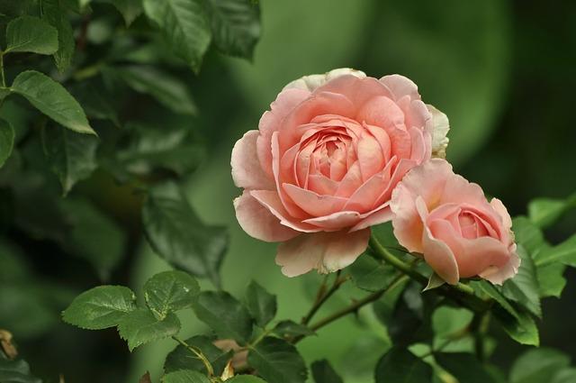 Flowers, Rose, Pink, Color, Garden, Green, Leaves