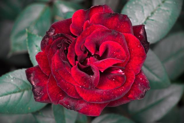 Rose, Flower, Sheet, Plant, Petal, Love, Color