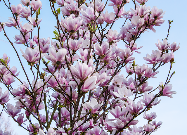 Flower, Plant, Nature, Branch, Petal, Magnolia, Color