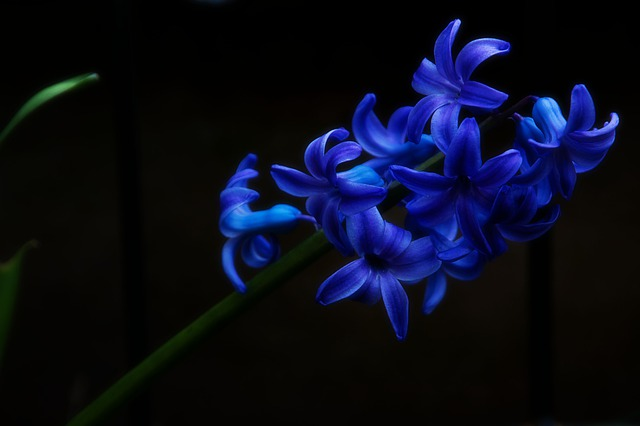 Hyacinth, Nature, Plant, Flower, Tender, Color, Bright