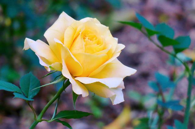 Flower, Nature, Plant, Leaf, Petal, Rose, Yellow, Color