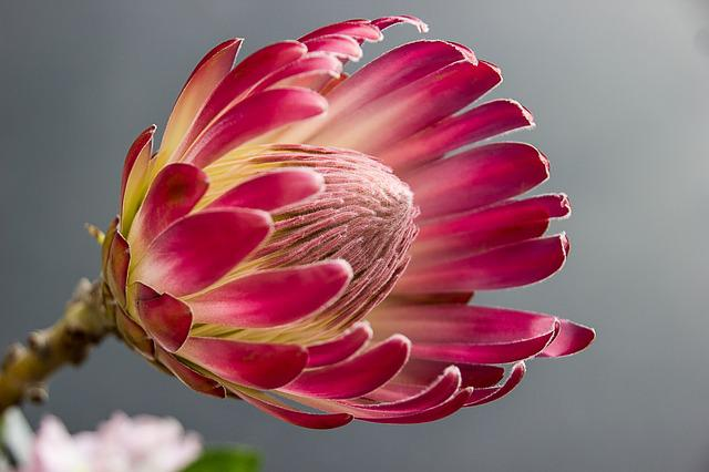 Protea, Bloom, Flower, Color, Red, Flower Garden, Plant