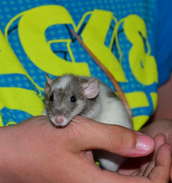 Rat, Color Rat, Animal, Rodent, Ears, Head, Hair
