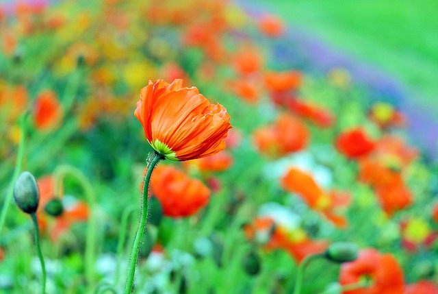 Poppy, Blossom, Bloom, Color, Klatschmohn, Spring