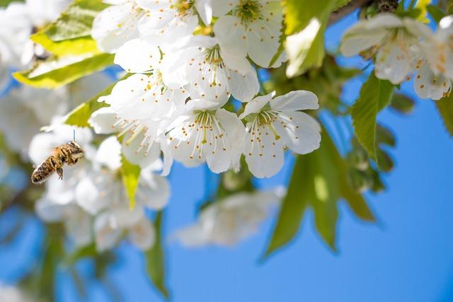 Flower, Cherry, Color, Spring, White, The Honey Bee