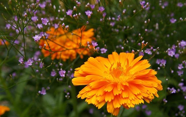 Marigold, Beach Lilac, Summer Flowers, Violet, Color
