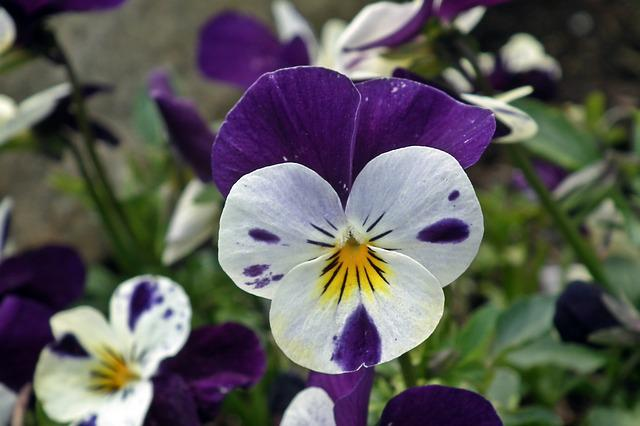 Flower, Pansy, Colored, Nature, Plant, Garden, Floral