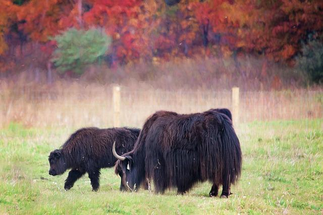 Buffalo, Fall, Autumn, Field, Colorful, Nature