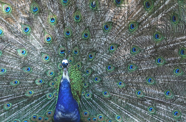 Peacock, Four Spot, Feather, Bird, Colorful, Color
