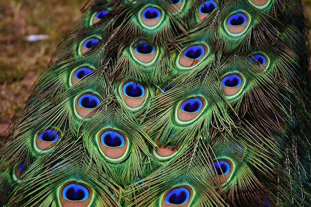 Peacock Feathers, Colorful, Bird, Plumage, Nature