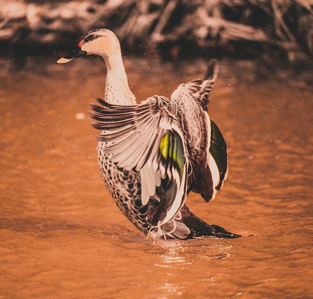 Swan, Flex Wings, Wings, Colorful Birds, Birds