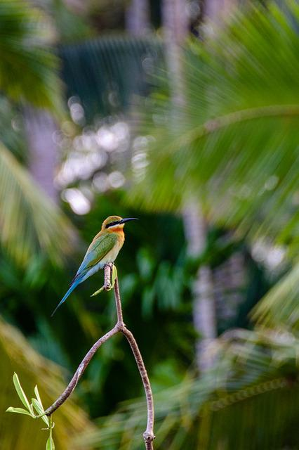 Blue-tailed Bee-eater, Bee-eater, Bird, Colorful