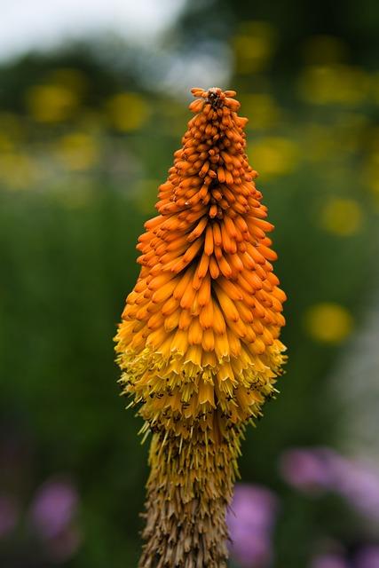 Torch Lilies, Rocket Flowers, Flowers, Bühen, Colorful