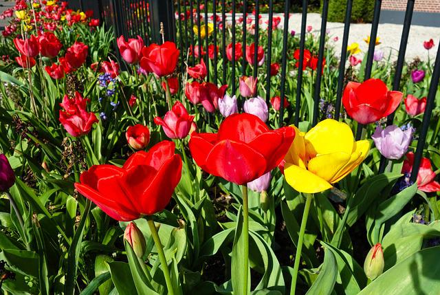 Tulip, Flower, Plant, Bulbous, Dutch, Garden, Colorful