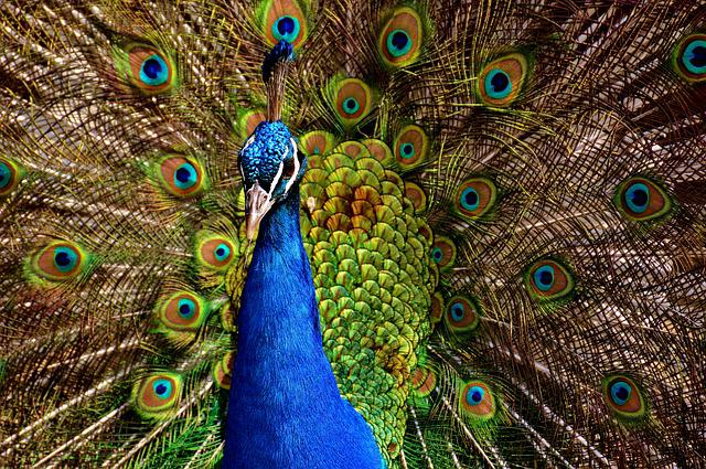 Peacock, Bird, Colorful, Poultry, Feather, Animal