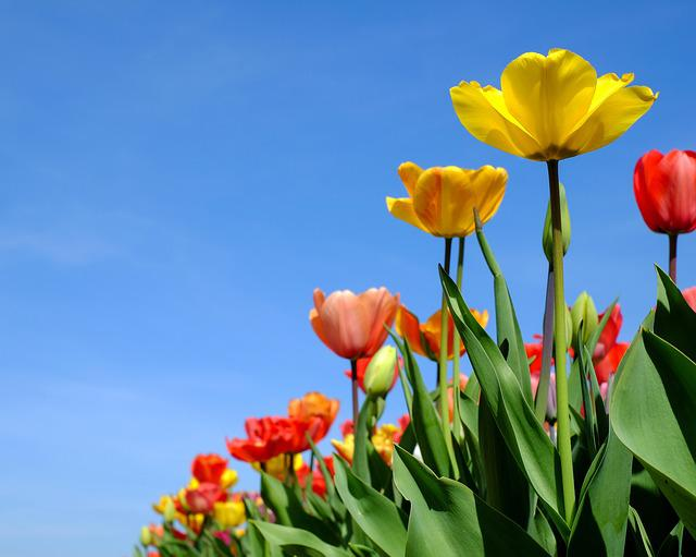 Tulips, Flowers, Bloom, Colorful, Tulip Field