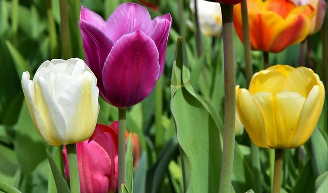 Tulips, Flowers, Colorful, Spring Flowers, Spring