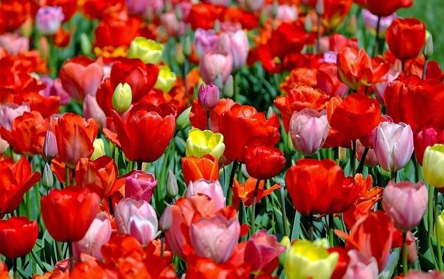 Tulips, Colorful, Flowers, Bloom, Spring, Tulip Field