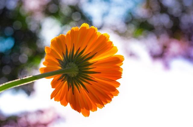 Pot Marigold, Flower, Colorful, Marigold, Garden