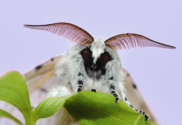 Butterfly, Insect, Colorful, Moth, Moth Cerura Vinula