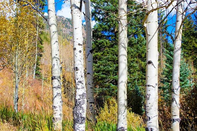 Aspen, Color, Autumn, Fall, Landscape, Forest, Colorful