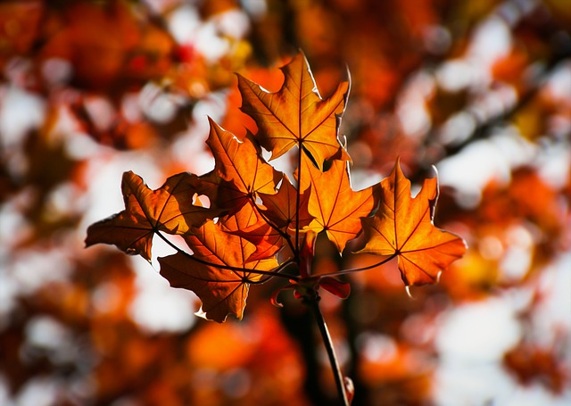 Maple, Maple Leaves, Autumn, Colorful, Red, Leaves