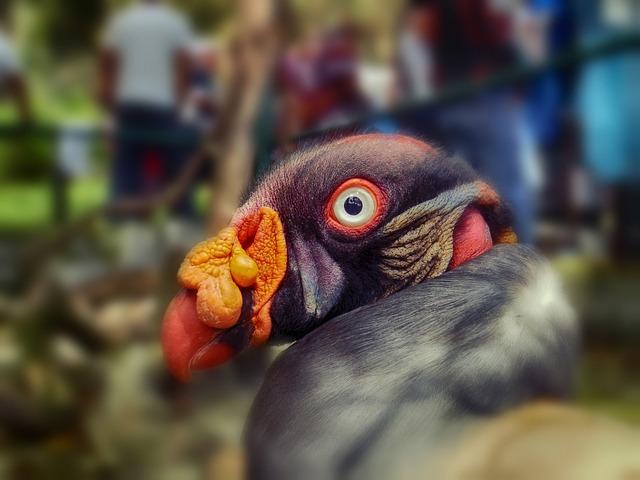 Sarcorampus Papa, Bird, Colorful, Zoo, Macro, Close-up