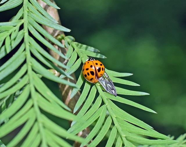 Ladybug, Insect, Wing Extended, Animal, Colorful Orange
