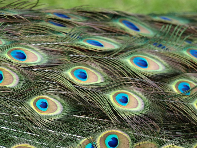 Peacock, Peacock Feathers, Feather, Colorful, Pattern