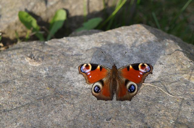 Butterfly, Peacock, Spring, Nature, Colorful, Close