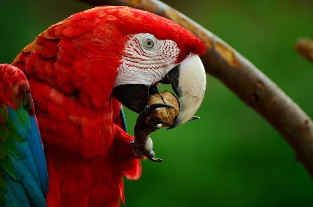 Ara, Parrot, Scarlet Macaw, Bird, Colorful, Plumage