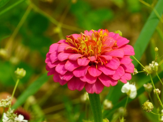 Zinnia, Zinniae, Colorful, Composites, Red, Red Orange