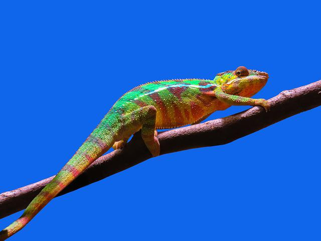 Animal, Chameleon, Colorful, Exotic, Reptile