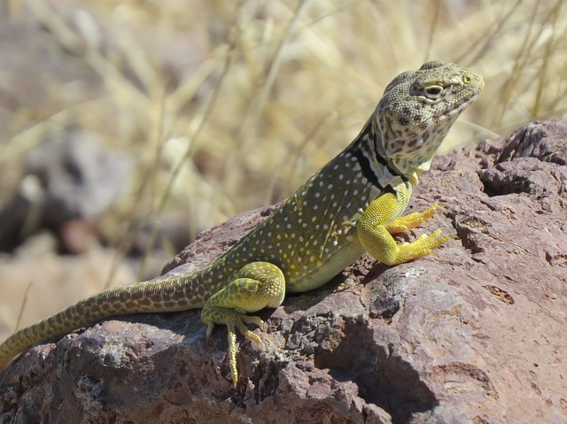 Reptile, Lizard, Wildlife, Colorful, New Mexico