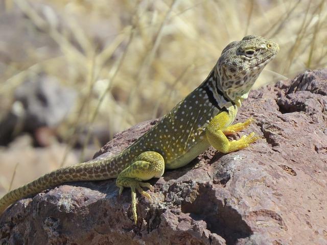 Reptile, Lizard, Wildlife, Colorful, New Mexico