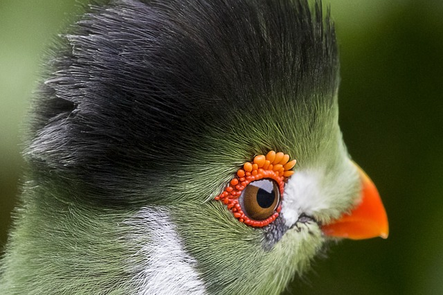 White, Cheeked, Touraco, Bird, Zoo, Plumage, Colorful