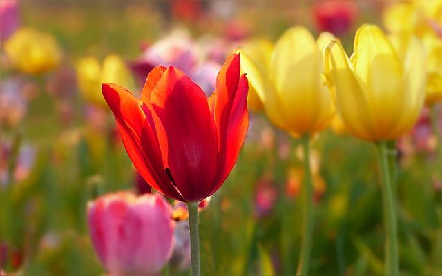 Plant, Flower, Tulip, Tulipa, Colorful, Tulip Field