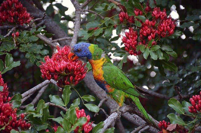 Rainbow Lorikeet, Colorful, Bird, Birds, Blue, Yellow