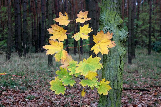 A Young Tree, Clone, Forest, Foliage, Colors