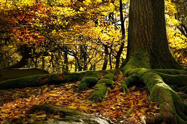 Roots, Beech Forest, Leaves, Colors, Autumn