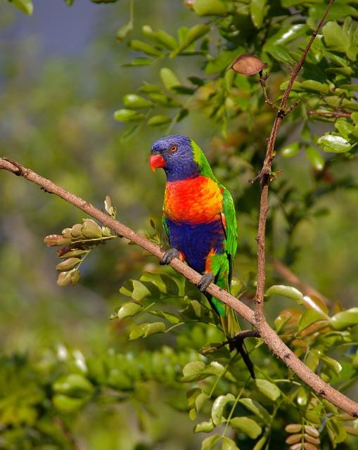 Rainbow Lorikeet, Parrot, Colourful, Bird, Australian