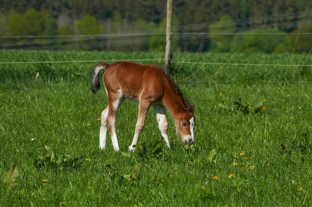 Colt Browsing, Pony Foal, Brown, White Boots