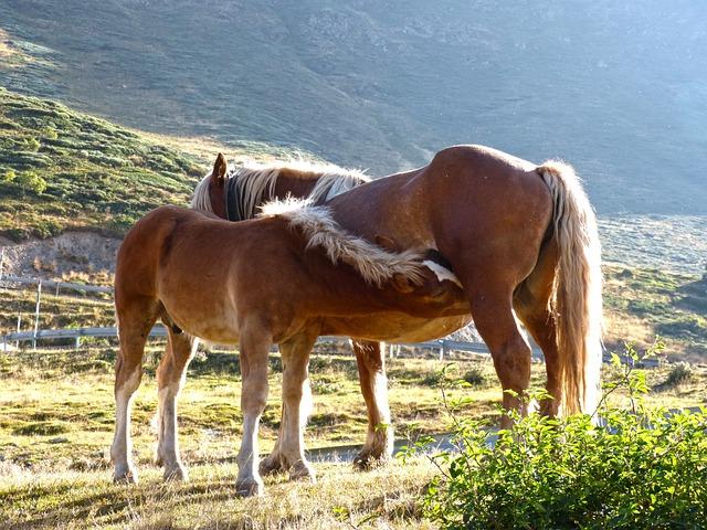 Horse, Mare, Colt, Breastfeeding, Val D'aran
